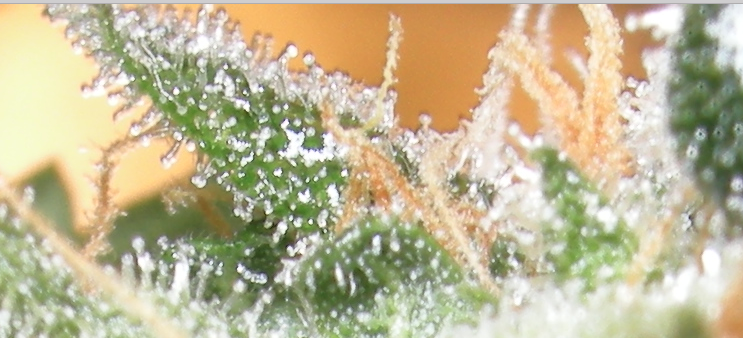 close up image of trichomes on a cannabis plant