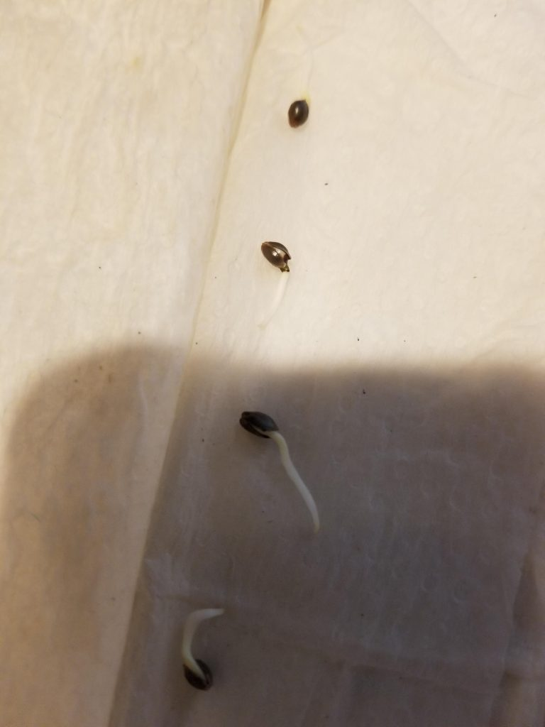 Taproots sprouting after germinating marijuana seeds.